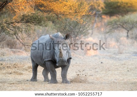 Rhino Looking Camera Standing On Left Stock Photo (100% Legal ...