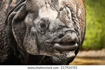 Rhino, often abbreviated as rhino, is a group of five extant species of odd-toed ungulates in the Family Rhinoceros. Two of these species are native to Africa and three to Southern Asia. - stock photo