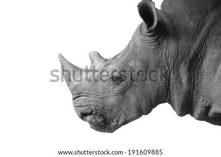Rhino's portrait isolated - stock photo