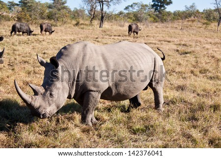 Rhino walking on grass plain with big horns - stock photo