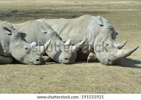 Rhino (white) - stock photo