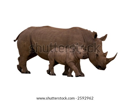 Rhino with calf isolated on white - stock photo