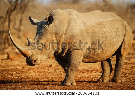 Rhino with large horn on red sand