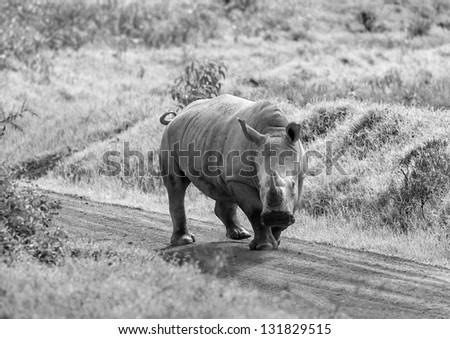 Rhinoceros at Lake Nakuru National Park - Kenya, East Africa (black and white) - stock photo
