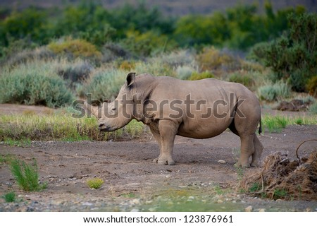 Rhinoceros at the Sanbona Wildlife Reserve in South Africa - stock photo