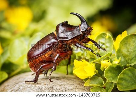 Rhinoceros beetle - stock photo