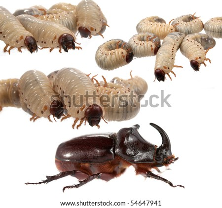 Rhinoceros beetle and larva the rhinoceros on a white background. - stock photo