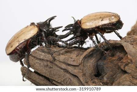 Rhinoceros beetle 5 He Against nature on a white background.  - stock photo