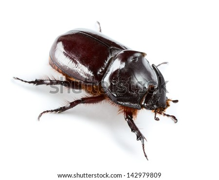 Rhinoceros beetle isolated on white
