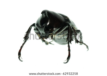 rhinoceros beetle macro isolated on white