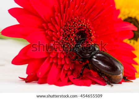 Rhinoceros beetle on a flower Gerbera - stock photo