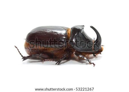 Rhinoceros beetle on a white background - stock photo