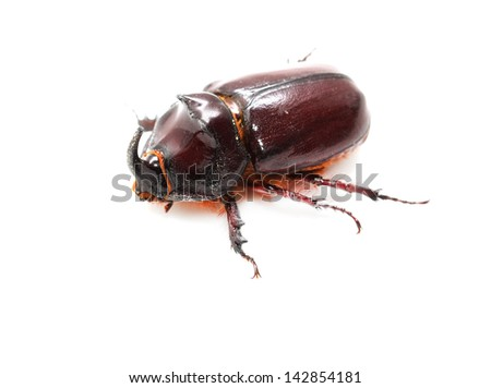 Rhinoceros beetle on a white background. macro