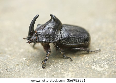 Rhinoceros Beetle (Oryctes nasicornis) With Beautiful Background  - stock photo