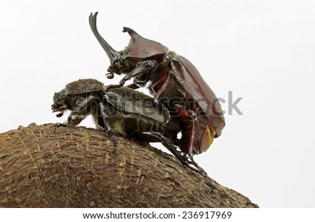 Rhinoceros beetles are mating  - stock photo