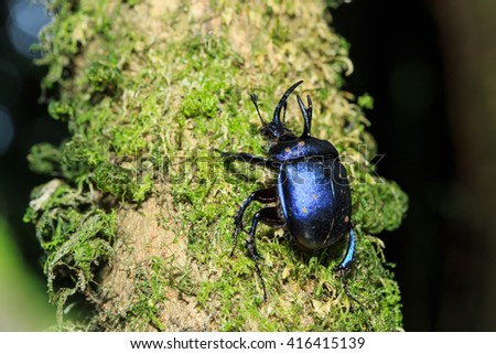 rhinoceros beetles (Enoplotrupes sharpi),Insects,beetle in Doi Inthanon National Park. Thailand - stock photo