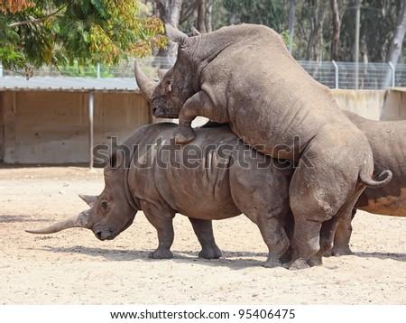 rhinoceros (Ceratotherium simum) mating in the nature reserve in Israel - stock photo