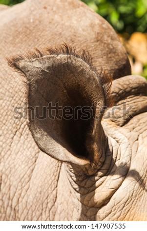 rhinoceros ear - stock photo