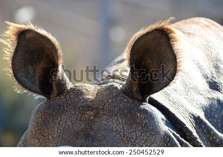 Rhinoceros Ears