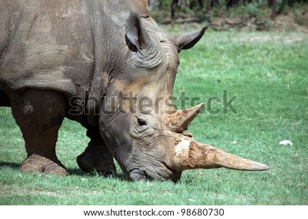 Rhinoceros eating grass in Texas safari park - stock photo