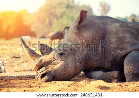 Rhinoceros have a rest in savannah - stock photo