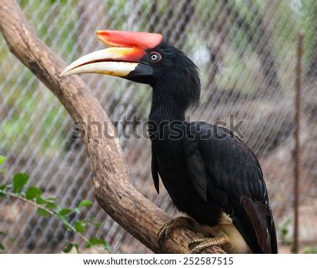 Rhinoceros hornbill - stock photo