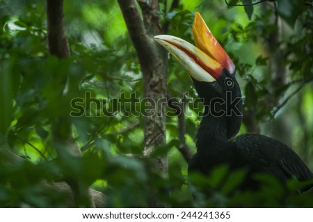 Rhinoceros Hornbill (Buceros rhinoceros) in Southern, Indonesia - stock photo