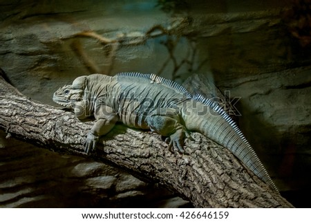 Rhinoceros iguana climbs over the fallen trunk of a tree