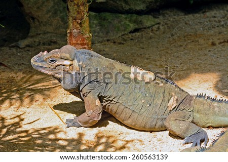 Rhinoceros iguana (Cyclura cornuta) - stock photo