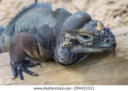 Rhinoceros iguana - Cyclura cornuta or Horned ground iguana - stock photo