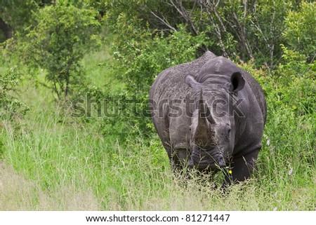 Rhinoceros in Hluhluwe-Imfolozi National Park, South Africa - stock photo