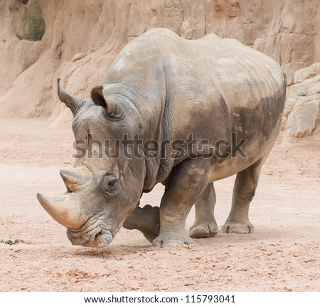 Rhinoceros In The Wild, Outdoor