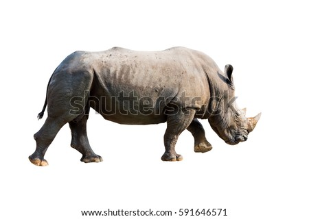 Rhinoceros. isolated on white background with clipping path