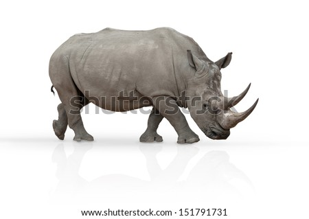 rhinoceros isolated on white with mirroring