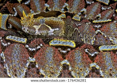 Rhinoceros viper / Bitis nasicornis - stock photo