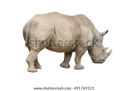 rhinoceros walking isolated on white background. Object with clipping path.
