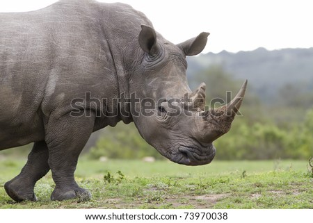 Rhinoceros White - stock photo
