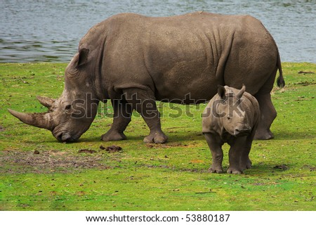 Rhinoceros with her calf in the near of a water pool