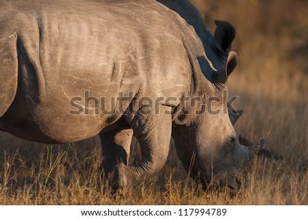 Rhinocerous near Kruger National Park, Hoedspruit, South Africa - stock photo