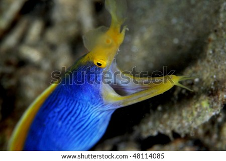 Rhinomuraena quaesita, blue ribbon eel is an elegant creature with a long, thin body and high dorsal fins.