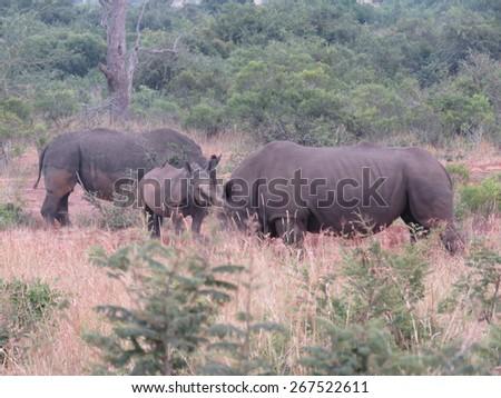 Rhinos. - stock photo