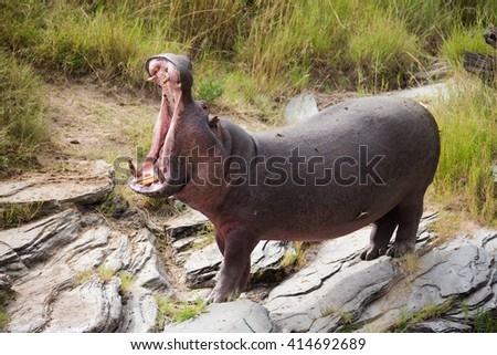 Rhinos fighting - stock photo