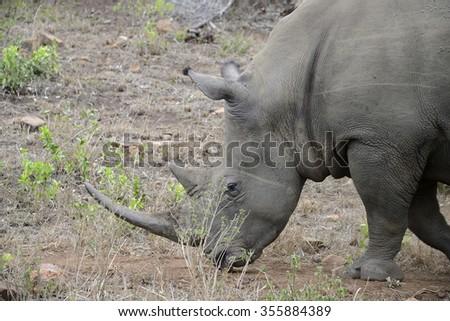 Rhinos, Hluhluwe, South Africa - stock photo