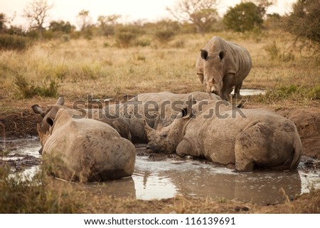 Rhinos laying in the mud, Kruger National Park - stock photo