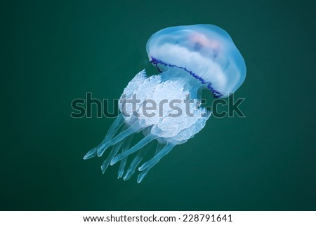 Rhizostoma. Dangerous jellyfish lives in the Black sea, has long tentacles with stinging cells which can leave burns on the human skin - stock photo