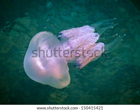 Rhizostoma - dangerous jellyfish lives underwater of a Black sea. Medusa has long tentacles with stinging cells - they leave burns on the human skin. - stock photo