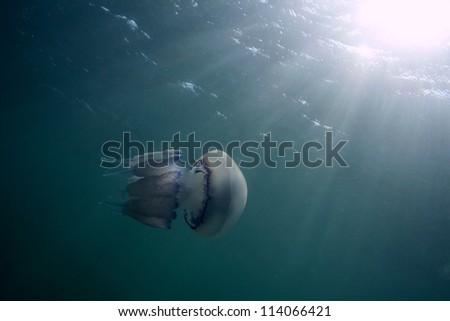 Rhizostoma pulmo jellyfish - stock photo