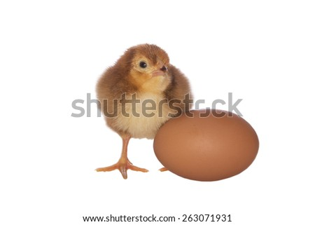 Rhode Island red chick with brown egg isolated on white background - stock photo