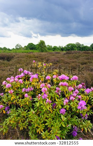 rhodedendroms and heather growing in  Bog near Drumlish, Co.Longford, Ireland - stock photo