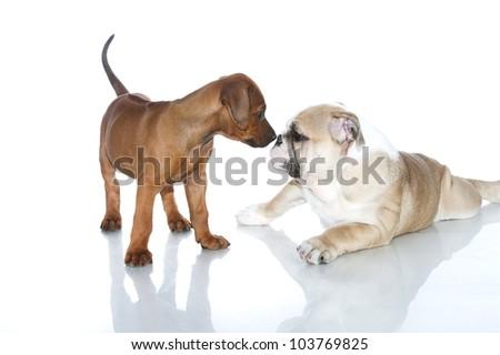 Rhodesian ridgeback and english bulldog puppies friends isolated - stock photo